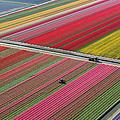 Netherlands, Tulip Fields by Peter Adams