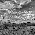 Ocotillo In Black And White by Chance Kafka