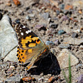 Painted Lady Butterfly by Michael Chatt