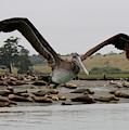 Pelican In Flight  by Christy Pooschke