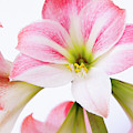 Pink Amaryllis by Maria Jeffs