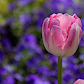 Pink And Purple by Marie Leslie