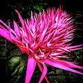 Pink Princess Bromeliad by Joseph Vittek