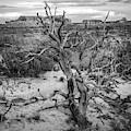 Pinyon Pine by Aaron Geraud