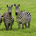 Plains Zebras, Ngorongoro Conservation by Mint Images - Art Wolfe