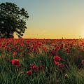 Poppy Field Sunrise 5 by James Billings