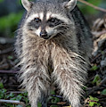Raccoon by Ross G Strachan
