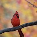 Red Cardinal In Front Of Fall Foliage by Dan Friend