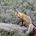 Red Fox by Ronnie and Frances Howard