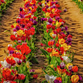 Rows Of Tulips  by Susan Candelario