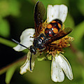 Scolid Wasp by Larah McElroy