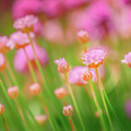 Sea Thrift  by S A Littau