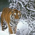 Siberian Tiger Panthera Tigris Altaica by Konrad Wothe/ Minden Pictures