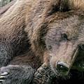 Sleepy Brown Bear by Arterra Picture Library