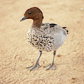 Small Duck On The Farm by Rob D Imagery