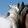 Spanish Mustangs Equus Caballus by Eastcott Momatiuk