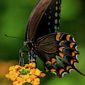 Spicebush Swallowtail On Lantana Blooms by Blair Howell