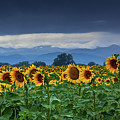 Sunflowers Under A Stormy Sky by John De Bord