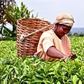 Tea Picker In Kenya by Marge Marino