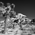 The Joshua Tree by Peter Tellone