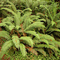 Western Sword Ferns In The Undergrowth Of Redwood Forest by Steve Estvanik