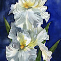 White Iris With Blue by Alfred Ng