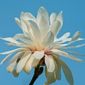White Magnolia by Susan Rydberg
