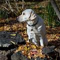 Yellow Labrador Retriever by William Mullins