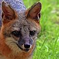 Fox by Larah McElroy