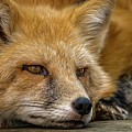 Russian Red Fox by David Pine