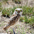 Burrowing Owl by Michael Chatt