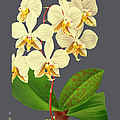 Orchid Old Print by Baptiste Posters