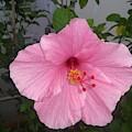 Pink Hibiscus by Nimu Bajaj and Seema Devjani