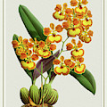 Orchid Vintage Print On Tinted Paperboard by Baptiste Posters