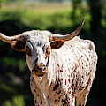 Longhorn Bull In The Paddock by Rob D Imagery