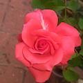 Orange Rose by Nimu Bajaj and Seema Devjani
