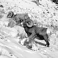 2 Amazing Bighorn Sheep In Black And White By Olena Art  by OLena Art - Lena Owens
