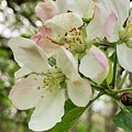 Apple Blossoms by Barry Jones