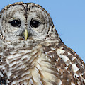 Barred Owl 2 by Chris Scroggins
