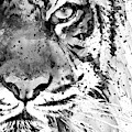 Black And White Half Faced Tiger by Marian Voicu