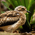 Close Up Of A Bush Stone-curlew by Rob D Imagery