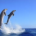 Dolphins by J & C Sohns