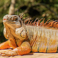 Green Iguana by Rob D Imagery