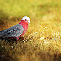 Large Pink And Grey Galah. by Rob D Imagery