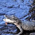Little Gator by Warren Thompson