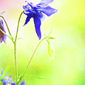 Painted Purple Columbine 2 by Anita Pollak