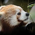 Red Panda by Chris Boulton