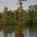 Tennesse Cypress In Wetland  by Darren Dwayne Frazier