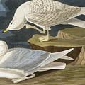 White Winged Silvery Gull by John James Audubon