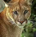 Puma by David Pine